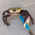 VIDEO:  Most Crabs Defend With Pincers… This One Wields A Knife!
