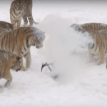 Incredibly Rare Siberian Tigers Hunt Drones . . . Yes Really!