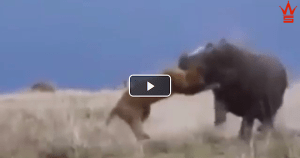 KING OF THE JUNGLE? Ferocious Lion Attacks A Hippo But Instantly Regrets It!