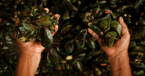 Mussels Off The Seattle CoastTest Positive for OPIOIDS