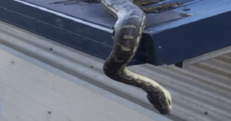Australian Man Forms A Man Crush With A Python