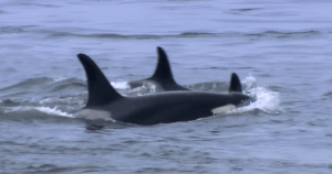A Whale Of A Scandal- Governor Proposes $1.1 Billion To Appease Orcas