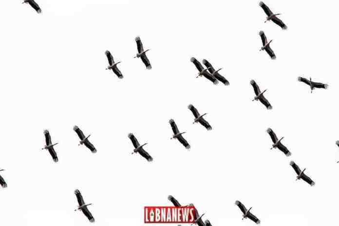 Des cigognes dans le ciel du Liban. Crédit Photo: Francois Bacha pour Libnanews.com. Tous droits réservés