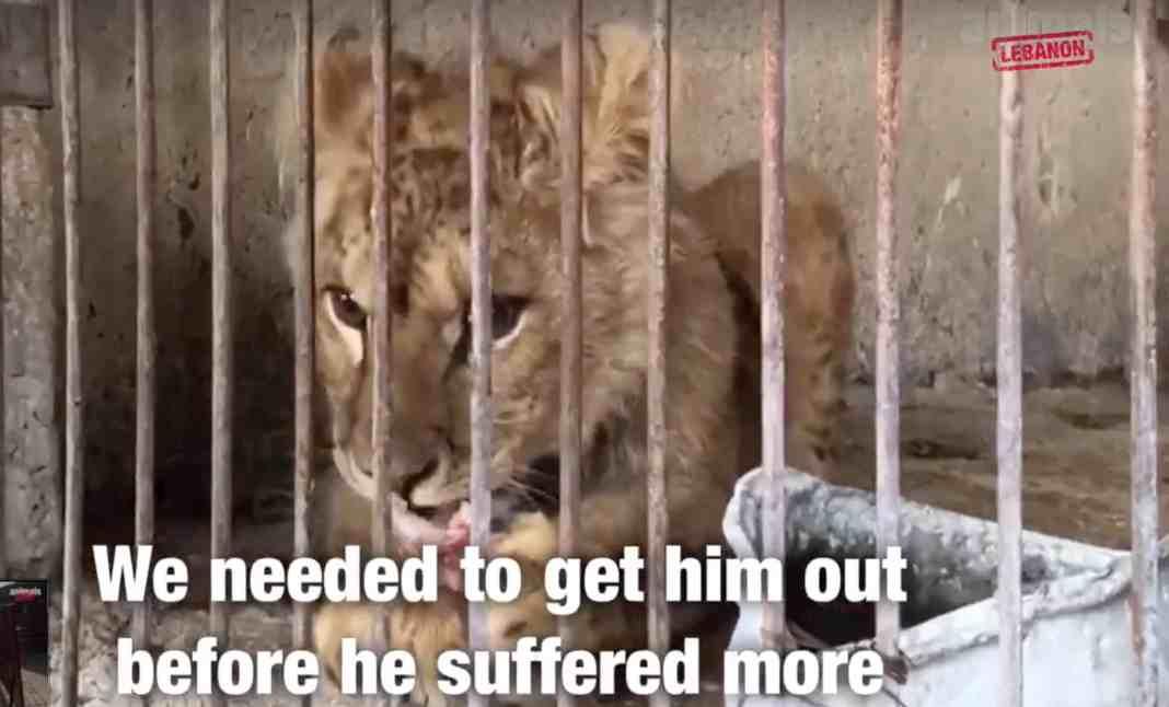 Stuart, le jeune lionceau secouru par Animal Lebanon. Capture d'écran de la Vidéo