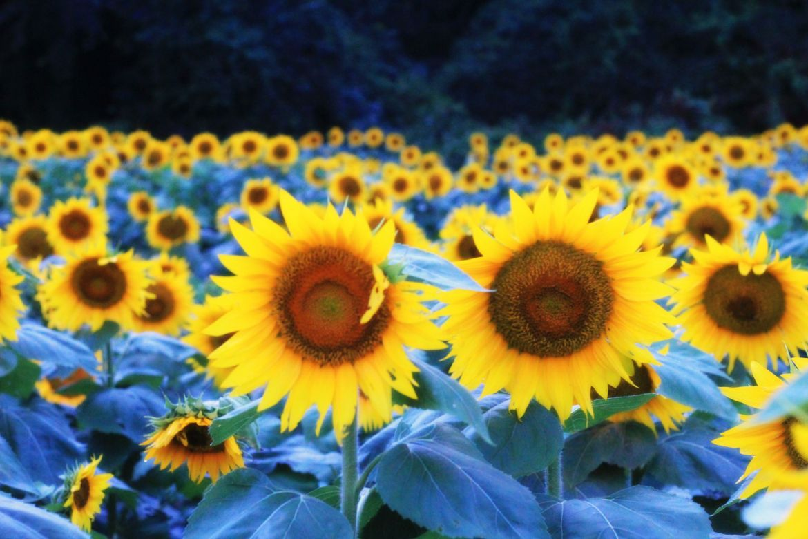 sunflower fields at Grinter farms