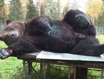 Így fest a medve, aki képzőművésznek állt – videó