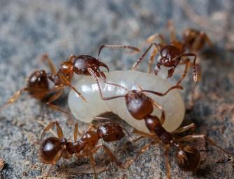 A hangyák képesek ismeretlen tárgyakat ételhordó edényként használni