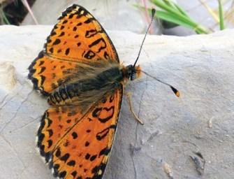Gyönyörű pillangófajt fedeztek fel egy sípályán