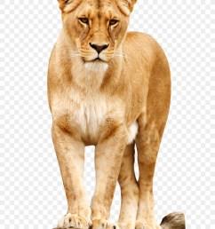 download lion png clipart roar clip art lion [ 900 x 1160 Pixel ]