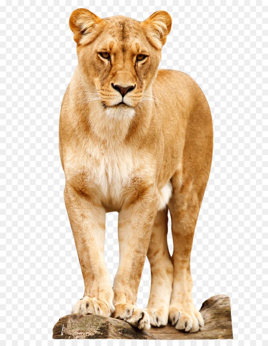 hight resolution of download lion png clipart roar clip art lion