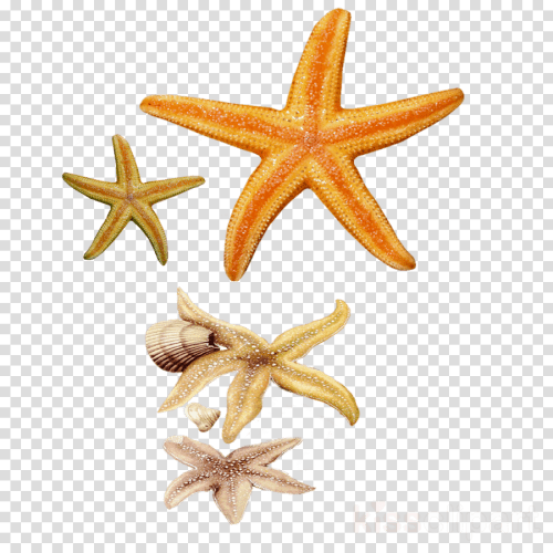 small resolution of concha e estrelas do mar clipart seashell starfish