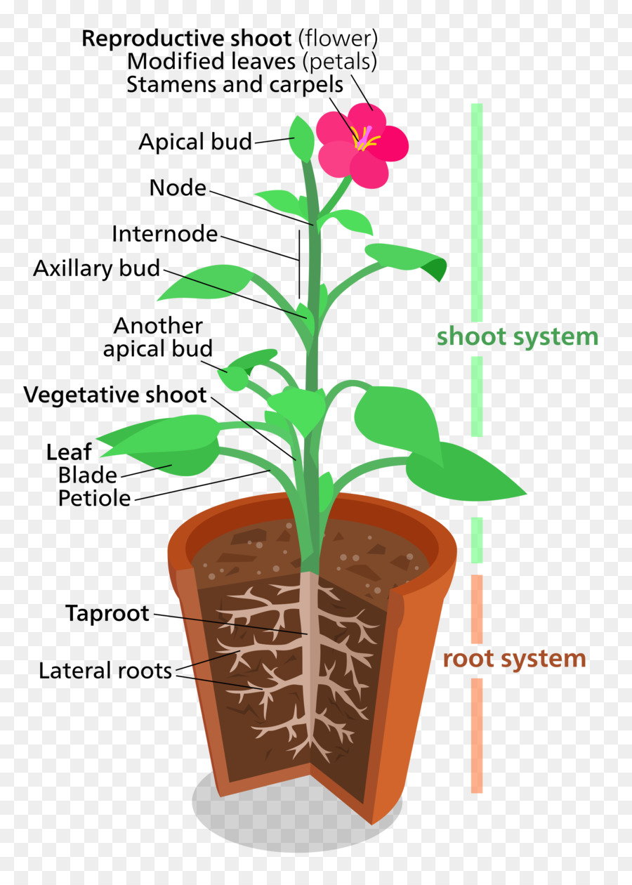 medium resolution of plant structure clipart plant structures plant cell plants