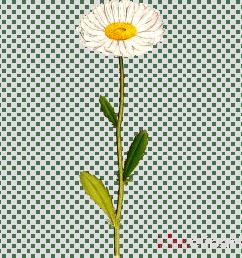 daisy clipart common daisy clip art [ 900 x 900 Pixel ]