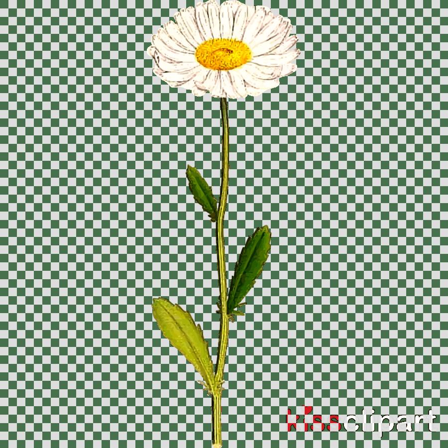 hight resolution of daisy clipart common daisy clip art