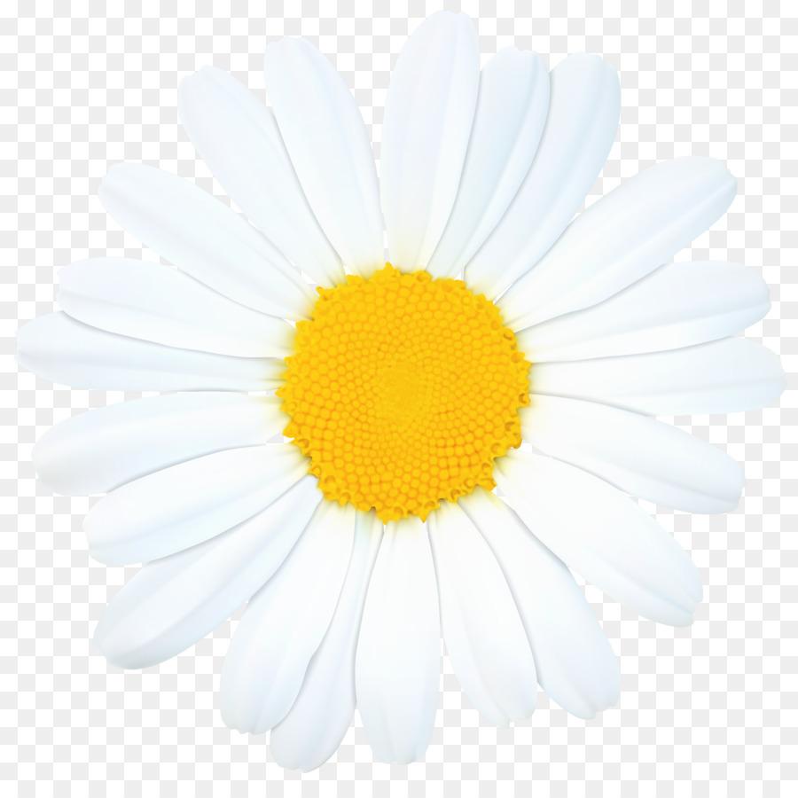 medium resolution of daisy clipart oxeye daisy daisy family chrysanthemum