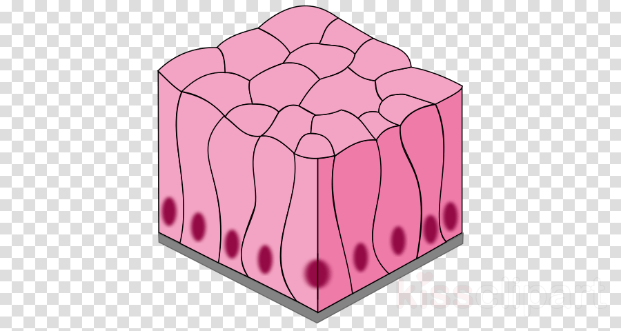 stratified columnar epithelium diagram gibson les paul recording wiring red pink transparent png image clipart free download squamous simple
