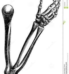 skeleton arm drawing clipart arm human skeleton drawing [ 900 x 1160 Pixel ]
