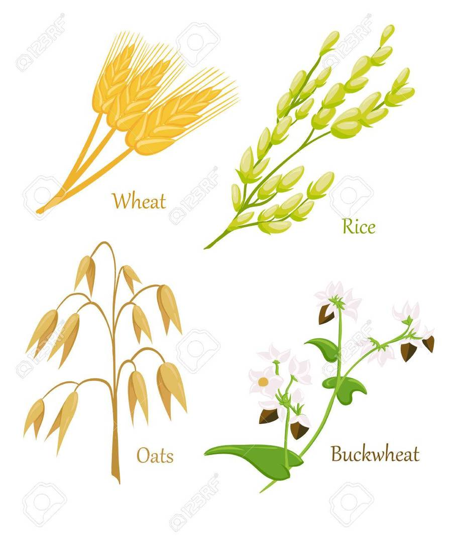 medium resolution of epis cereales clipart cereal ear wheat