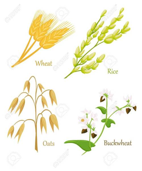 small resolution of epis cereales clipart cereal ear wheat