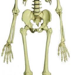 download full human skeleton clipart human skeleton human body [ 645 x 2126 Pixel ]