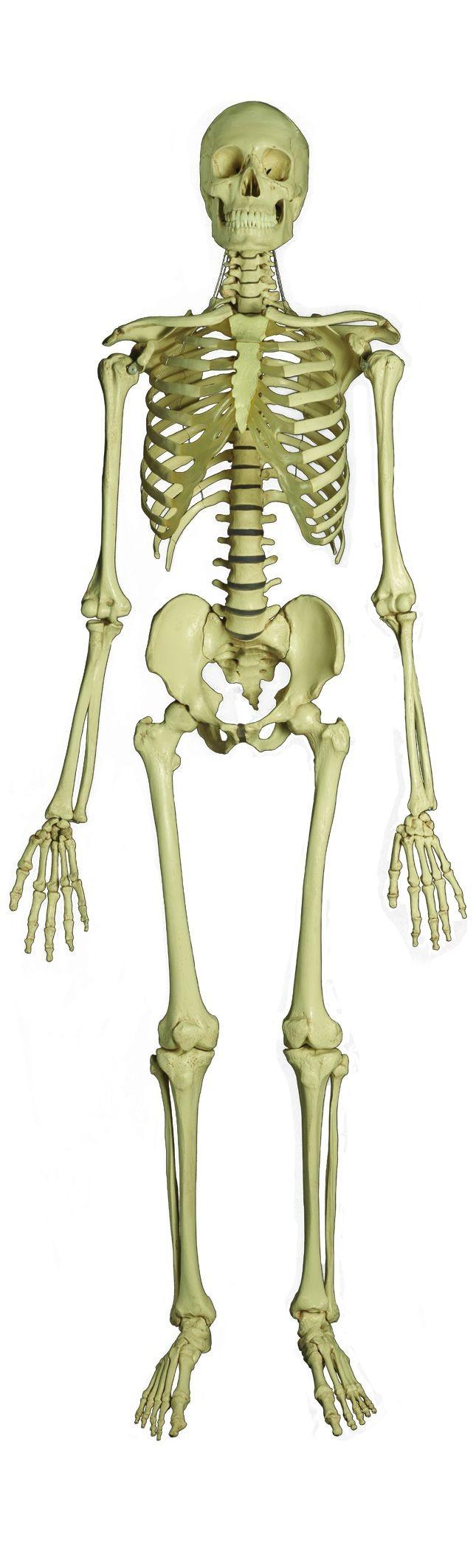 medium resolution of download full human skeleton clipart human skeleton human body