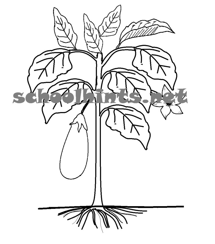 medium resolution of parts of the plants eggplant clipart plants root clip art