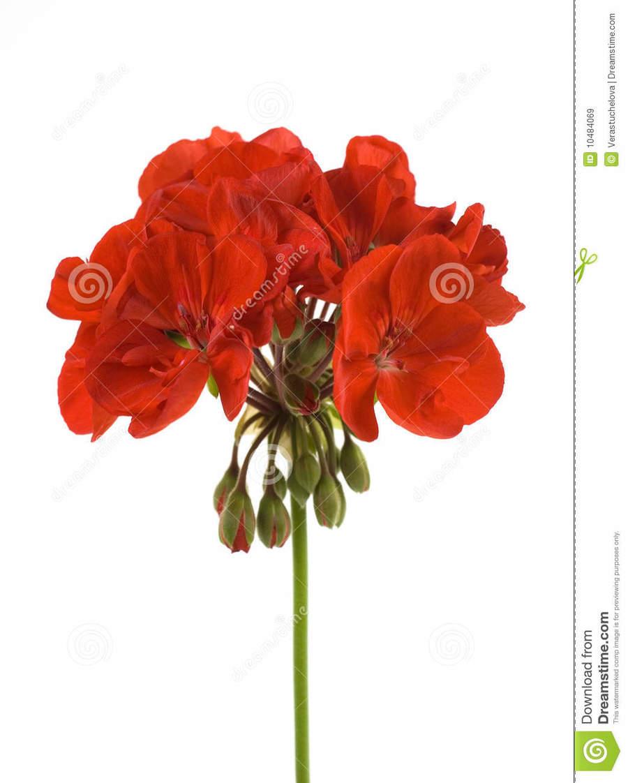 hight resolution of coffee clipart crane s bill coffee geraniums