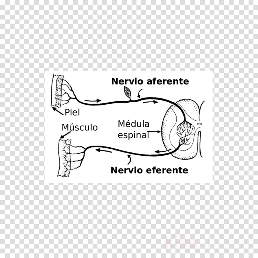 hight resolution of nervio aferente y eferente clipart afferent nerve fiber efferent nerve fiber neuron