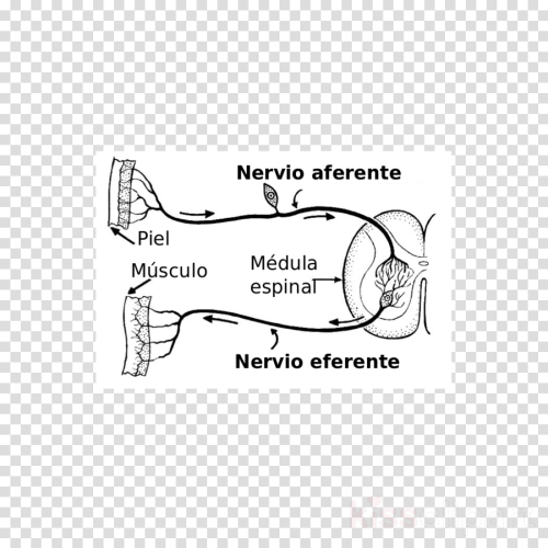 small resolution of nervio aferente y eferente clipart afferent nerve fiber efferent nerve fiber neuron