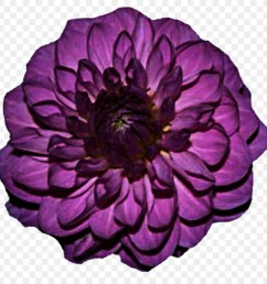 purple dahlia flower clipart dahlia purple flower [ 900 x 900 Pixel ]