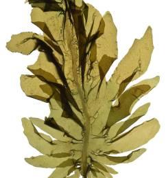 seaweed clipart [ 900 x 1353 Pixel ]