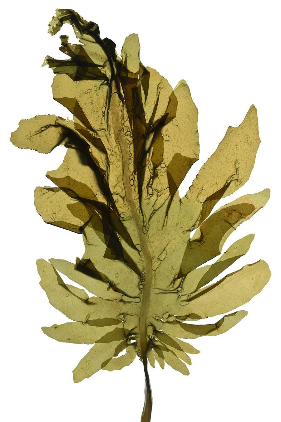 hight resolution of seaweed clipart