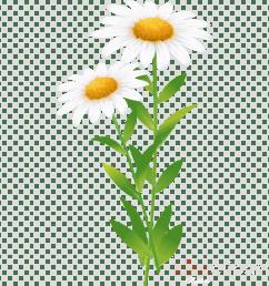 common daisy roman chamomile clip art [ 900 x 900 Pixel ]