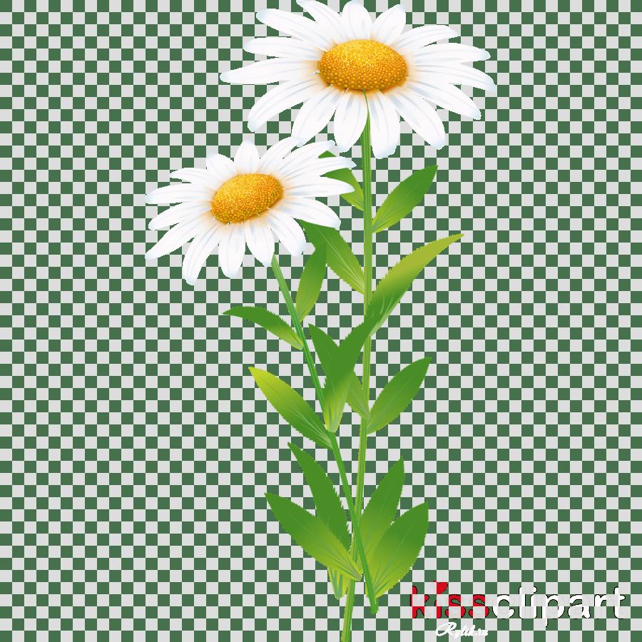 hight resolution of common daisy roman chamomile clip art