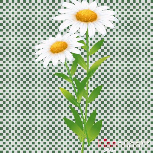 small resolution of common daisy roman chamomile clip art