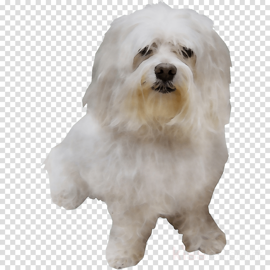 hight resolution of maltese clipart maltese dog bolognese dog little lion dog