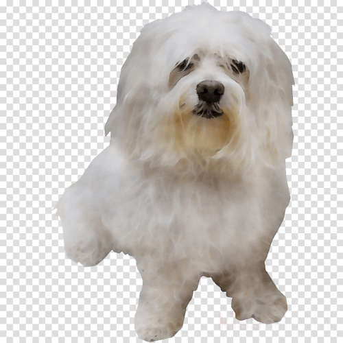 small resolution of maltese clipart maltese dog bolognese dog little lion dog