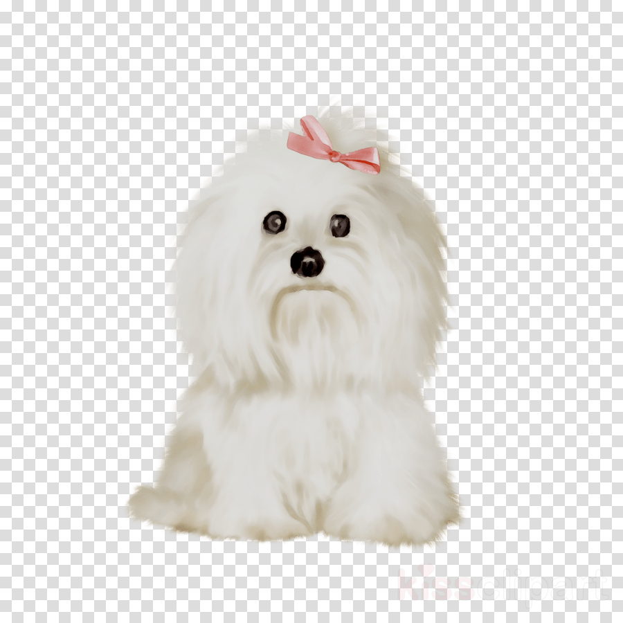 hight resolution of maltese clipart maltese dog bolognese dog havanese dog