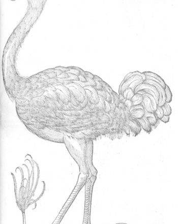 RCP, ostrich for colouring