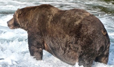 Large grizzly bear standing in rushing stream.