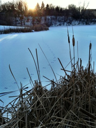 Bunny trail across the frozen pond.