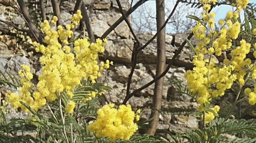 Mimosa 1_b_03 mars 2016
