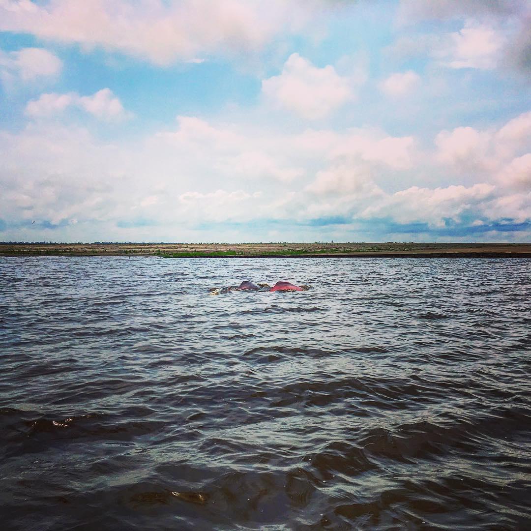 Rencontre des eaux, en aval de Manaus, capitale de l'État d'Amazonas, Brésil. Deux dauphins roses évoluant au confluent du Rio Negro et du Solimões.