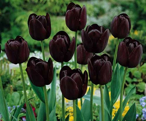tulipano nero
