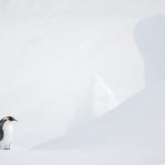 Vincent Munier, el fotógrafo de la vida salvaje en el frío