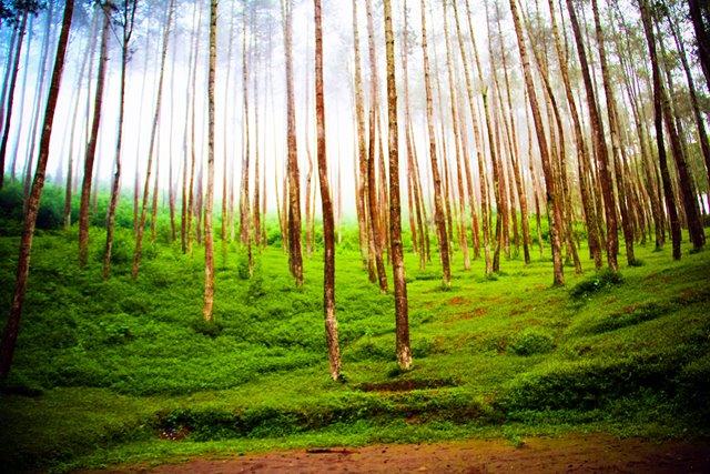Pemandangan hutan pinus juga salah satu daya tarik lain Situs Batu Kuda Manglayang, Bandung.