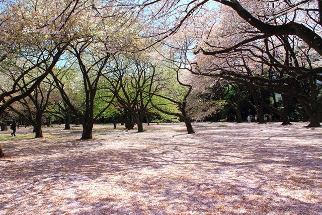 Sakura di Shinjuku Gyoen National Garden, Jepang (sumber)