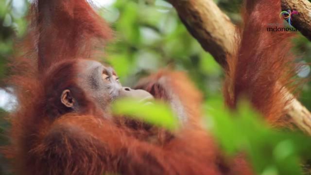 Tempat penangkaran Orang Utan yang dikelola Yayasan Borneo Orang Utan Survival (BOS), Nyaru Menteng.