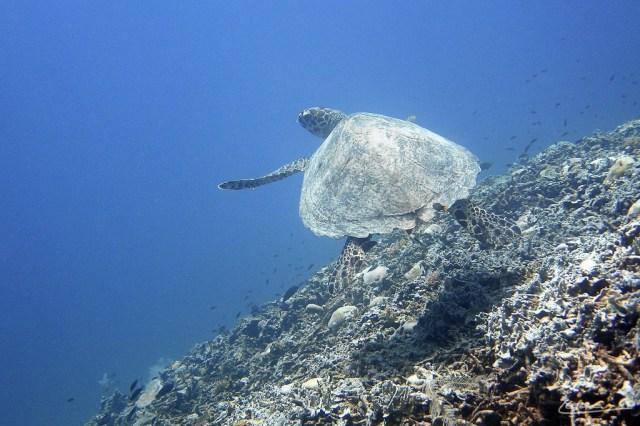 Penyu di Kepulauan Gili, Lombok, NTB