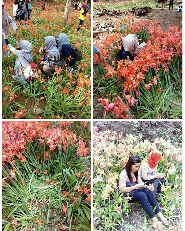 Many traveler is not responsible for damaging Flower Garden Puspa Patuk Amarilis Yogya
